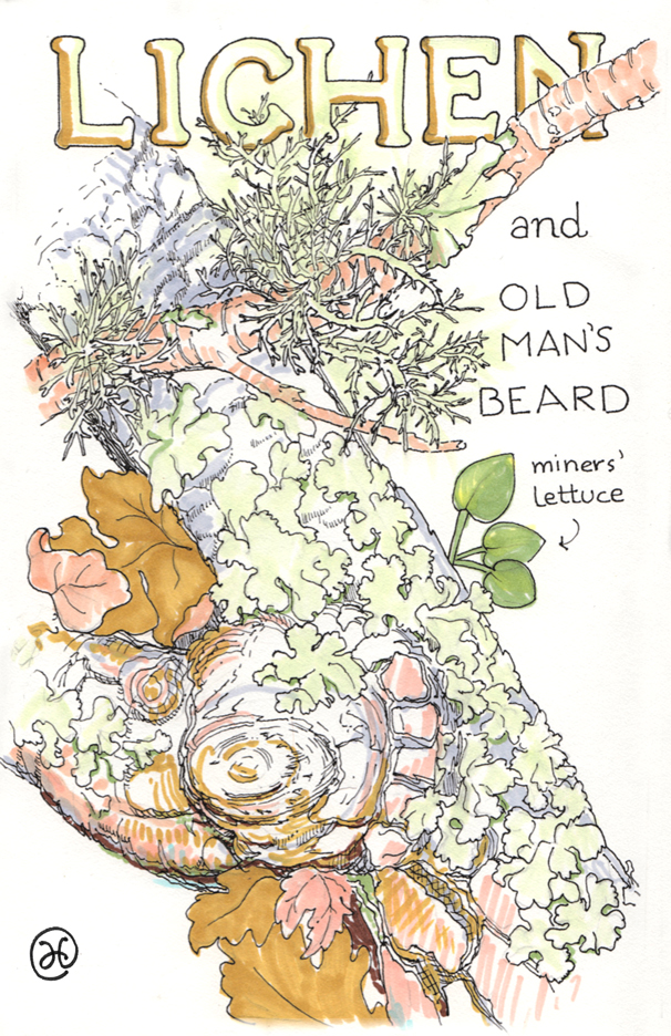drawing of lichen and Old Man's beard
