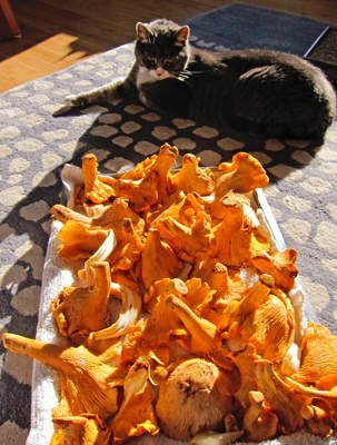 chanterelle mushrooms & cat