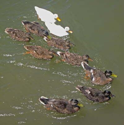 ducks400